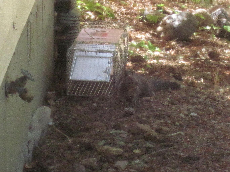 Western grey squirrel gopher valley journal