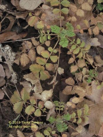 P. glandulosa