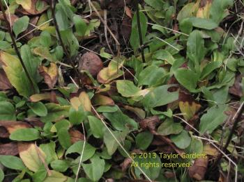 P.vulgaris