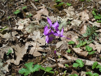 Dodecatheon 4.30.09 on 4.13.13 flowers were at or past this stage (no photo of those)