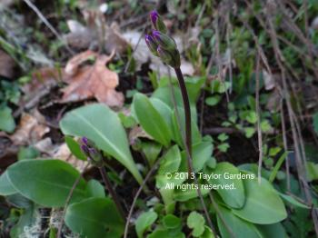 dodecatheon on 3.23.13