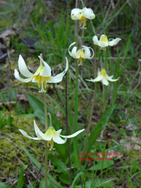Erythronium on 4.12.13