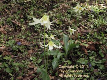 Erythronium on 5.16.11