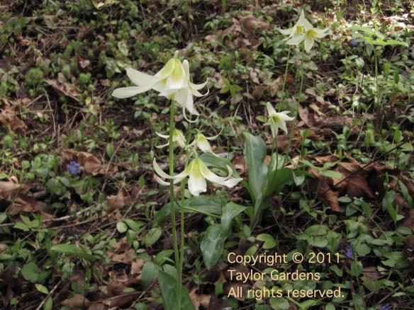 Erythronium on 5.16.11