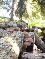 Shiitakes after warm dry weather and a long watering