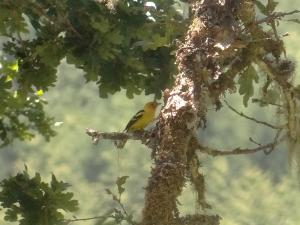 Western Tanager non-breeding male