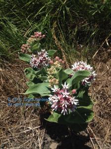 milkweed2_2