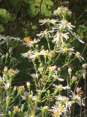 Can you spot the woodland skipper?