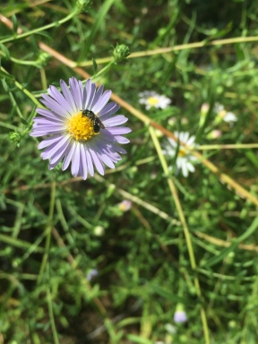 A tiny pollinator