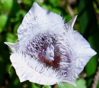 Mariposa lily Calochortus tolmiei