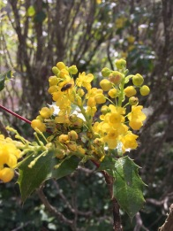 A bee on tall Oregon grape (Berberis aquifolium) One of the first plants to provide food for native bees in spring